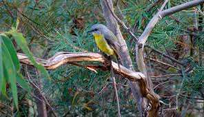 birdlife in blue mountains